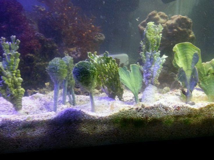 Ultimate macro algae set live rock coral refugium seahorse sand bed saltwater