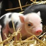 The piggy has eyelashes!