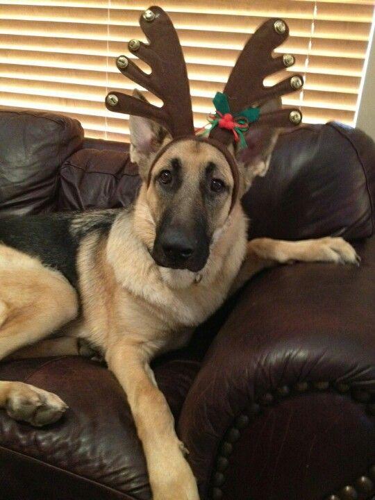 "Christmas German Shepherd ~ ""I'll see never live this down!"""