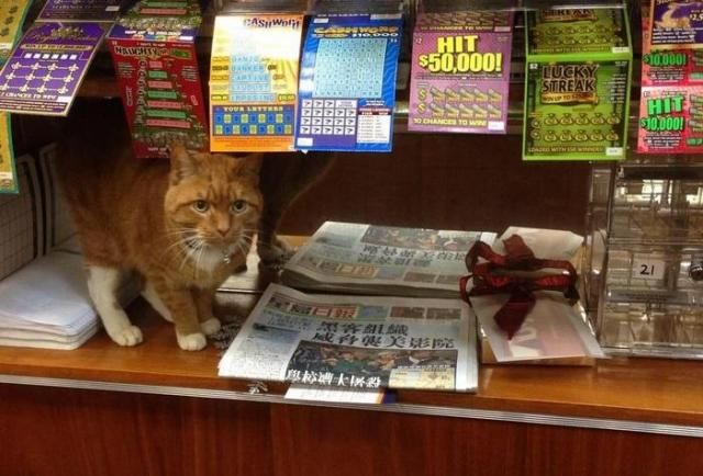 Bezdomny kot, który został adoptowany przez właścicieli sklepu i został jego pracownikiem