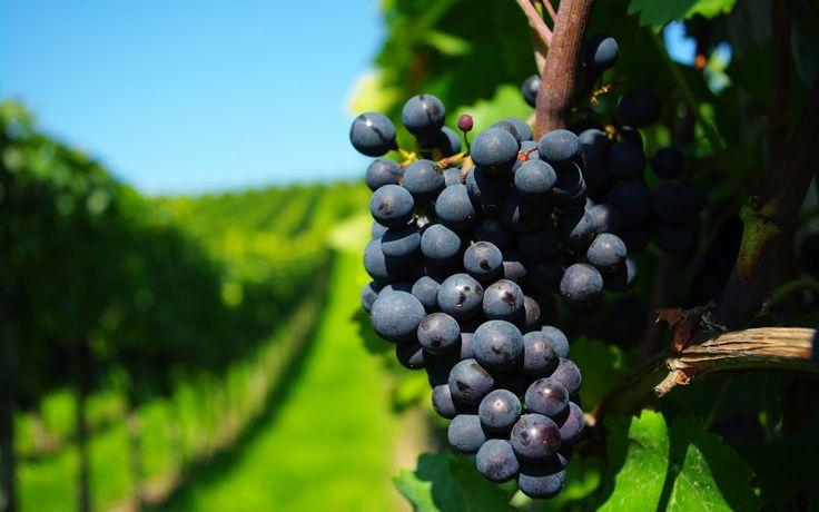 Uvas en los Viñedos de Chile