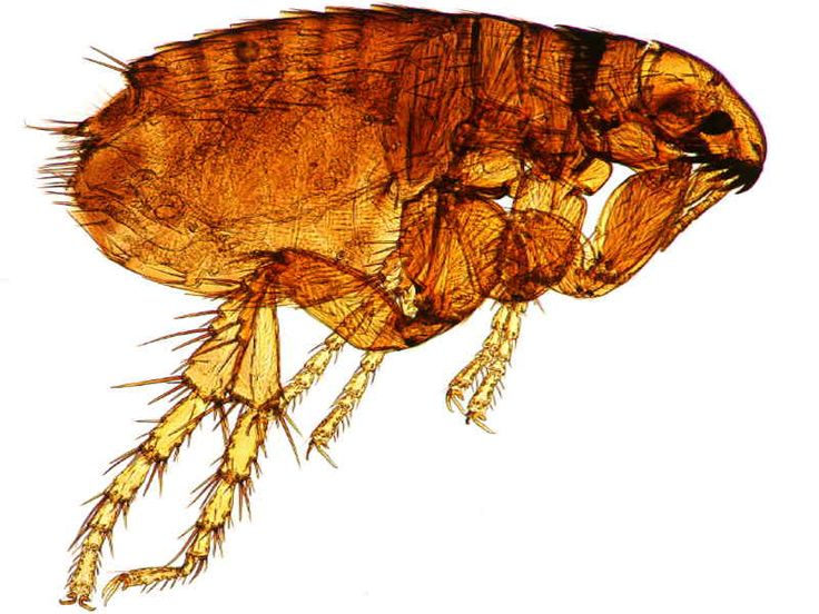 Natural Ways to Get Rid of Fleas and Other Pests | OrganicMedic