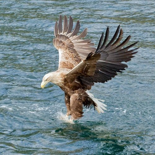 White-tailed Eagle - Haliaeetus albicilla, is a large bird of prey. It is considered a close cousin of the bald eagle and occupies the same ecological niche, but in Eurasia.