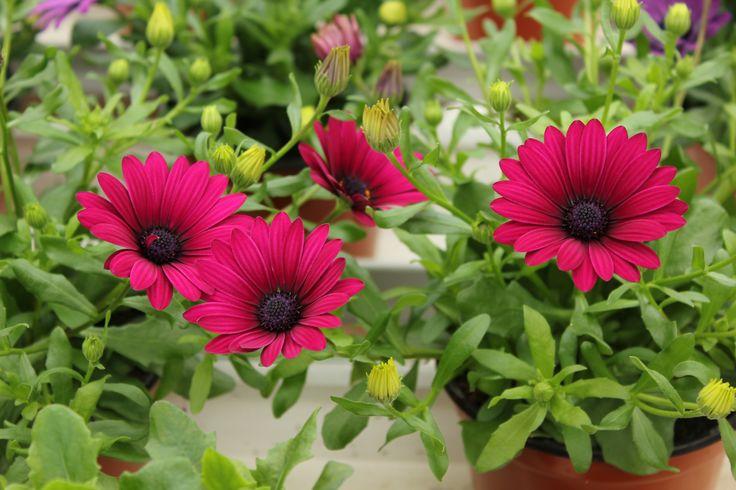 tähtisilmä 'Flower Power Purple'