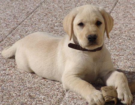 Labrador sable ♥ 4M ♥