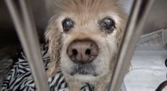 KASEY was in the shelter 2 years ago but she was Returned to her Owner. Now they left her at 16 years old because they could no longer affor...