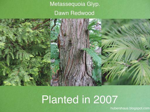 Metassequoia Glyp., Dawn Redwood