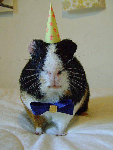 Guinea Pig in Bow Tie. Makes me miss @Elizabeth Erlich