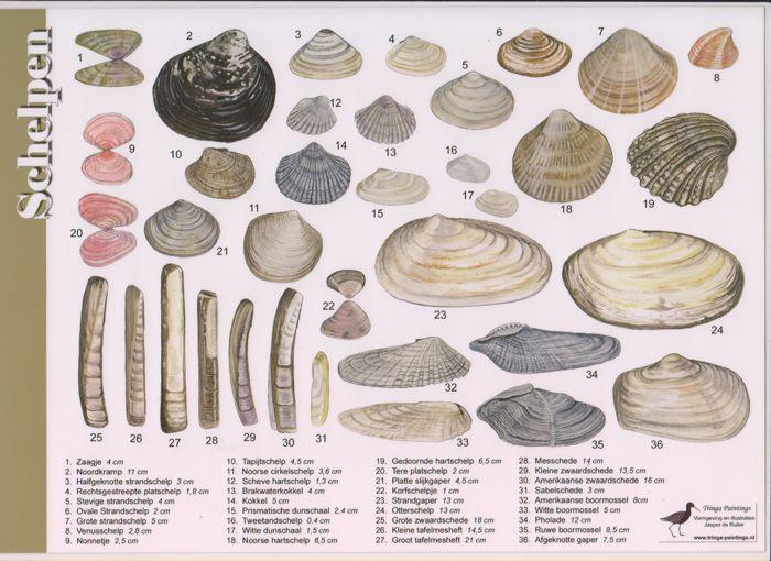Afbeeldingsresultaat voor soorten schelpen met naam
