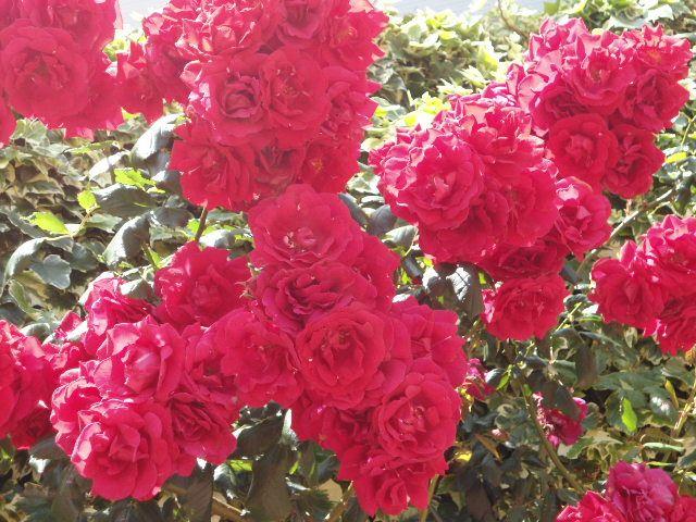 Rosas Mariñeiras