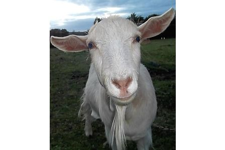 Police investigate the disappearance of Mr Goat