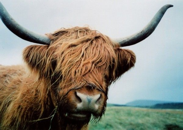 highland cow stained glass - Google Search