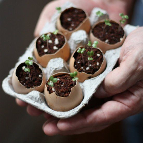 How to start garden seeds using eggshells as planters. Not only are they a great way to recycle, eggshells help benefit the plant growth! Perfect for Earth Day.