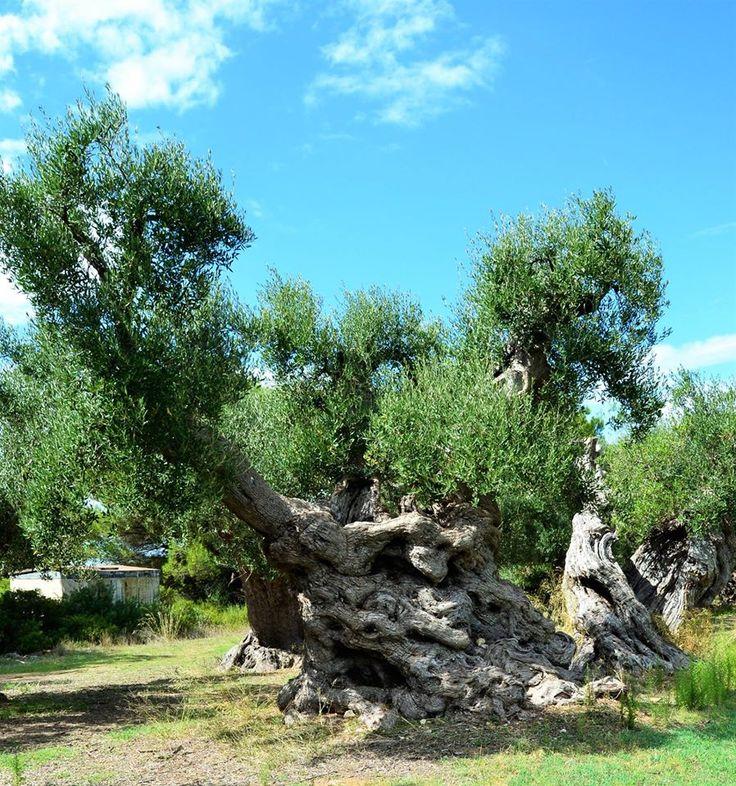 Questi ulivi millenari custodiscono l'immensa forza della natura in viaggio tra storia e struggente bellezza che inizia da Masseria Amastuola a Crispiano Scopri di più: http://www.madeintaranto.org/ulivi-millenari-taranto-giganti-della-storia-crispiano-manduria/  #Taranto #Puglia #Weareinpuglia #cittàdavivere #citywiew #Italy #Madeinitaly #Visitpuglia #Mediterraneo #Madeintaranto #MagnaGrecia #millenaridipuglia #ulivi