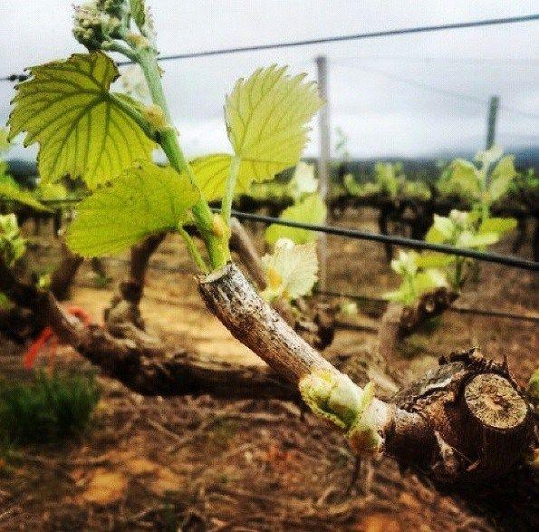 Bud Break: A New Season Has Begun | Zandvliet Wine Estate