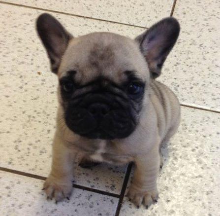 French Bulldog Pug Mix, Frenchie Pug Mix, Frugs Frenchie Pug, French ...