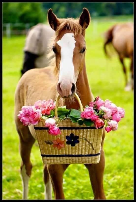 Ein kleines Geschenk gibt es von diesem süßen Fohlen. Es hat Blumen in einem Stroh-Korb mitgebracht #APASSIONATA