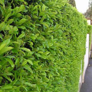 les 64 meilleures images du tableau mon jardin arbres et arbustes sur pinterest arbustes. Black Bedroom Furniture Sets. Home Design Ideas
