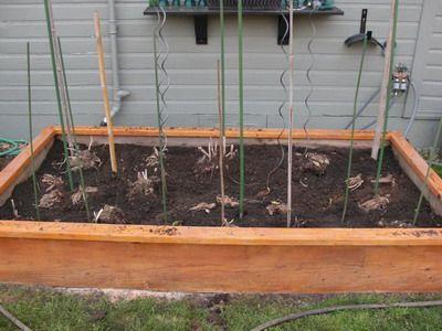 Георгины: посадка, уход и выращивание георгин - из семян, из клубней и из рассады