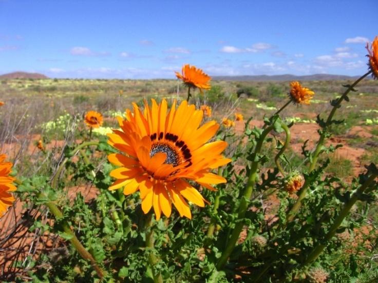Flowers in Namakwaland #southafrica