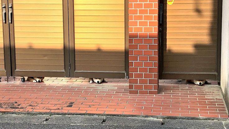 """金子大輝@イラストレーターさんのツイート: """"そういえば、昨日歯医者さんに行き、いつもの帰り道にまた三匹のワンコに会い癒されました。扉の下から一匹ずつ鼻を出して覗いてくるのが可愛い。… """""""