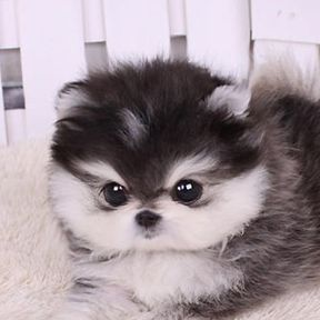 Mini dog – 40 miniature dogs to eat! – # to #chien #cats #croquer #mini