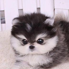 Pommerschwarzweiss-Hund-Miniatur – #weiss #BabyMiniatur #schwarz #pommerschwarz