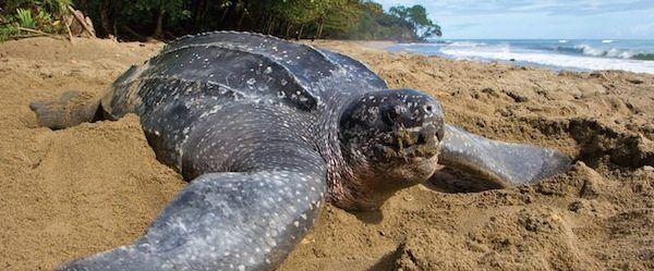 Descubre las 7 especies de tortugas marinas