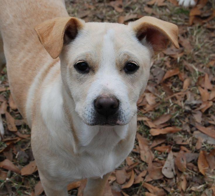 Adopt adalyn b on yellow labrador retriever dog