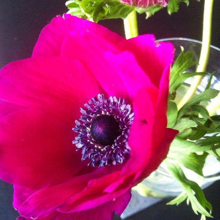 French anemone / fransk anemone.