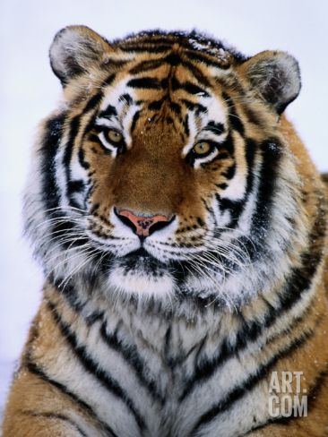 A Siberian Tiger at the Minnesota Zoological Garden Photographic Print by Michael Nichols at Art.com