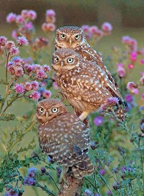 three Burrowing Owls in field of thistles