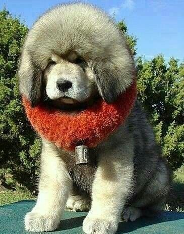 Tibetan Mastiff. If I had 60 acres I would love to have this dog.