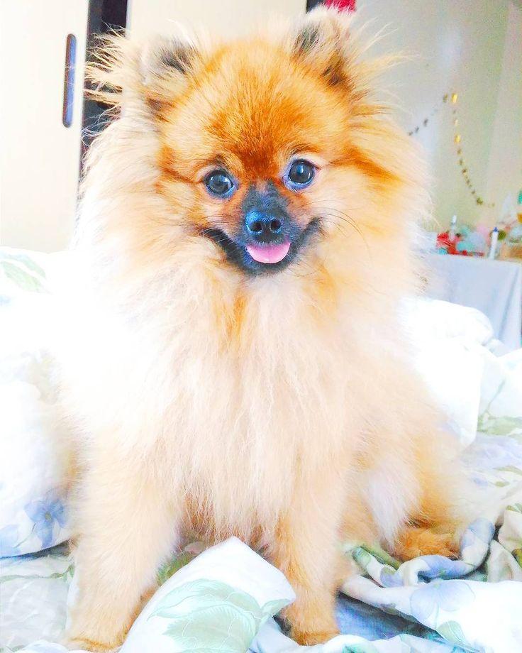 Cachorro spitz alemão laranja em cima da cama  Pomeranian on the bed  Sushi, spitz alemão, lulu da pomerância, pomeranian do @mathdoblog  www.blogdomath.com.br    Instagram @catiorineosushi    Usou? Dê os créditos!  Vamos fazer da internet um lugar melhor!