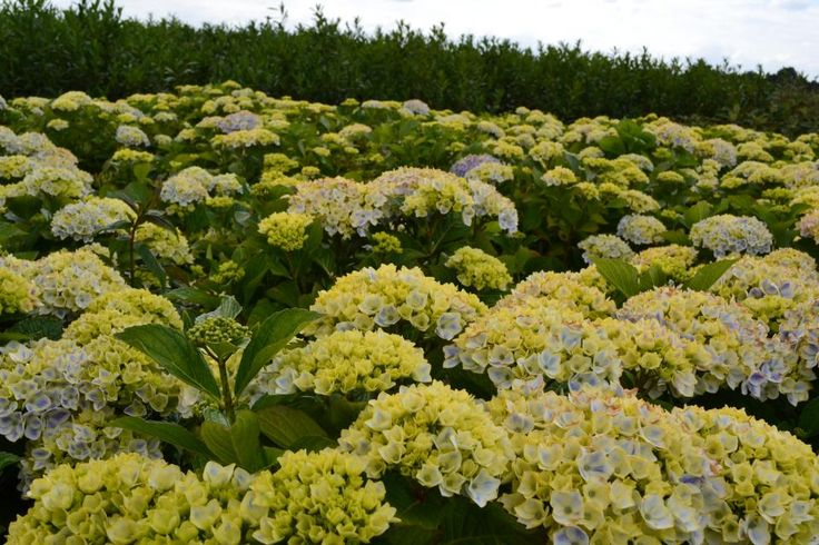 Hydrangea macrophylla  Plantenkwekerij Joost Sterke