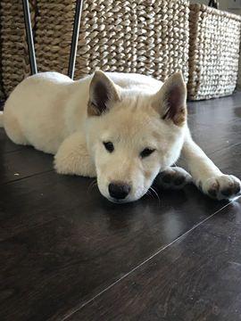 Shiba Inu puppy for sale in LAS VEGAS, NV. ADN-51094 on PuppyFinder.com Gender: Male. Age: 11 Weeks Old