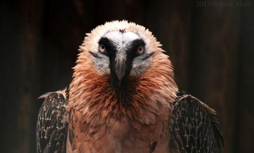 Bearded Vulture ~ Bartgeier ~ Gypaetus barbatus  2013 © Jesse Alveo ~ All rights reserved