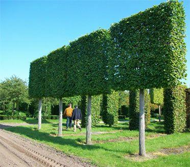 Mature pleached Limes, 40-45cm girth, field grown. Deepdale Trees.
