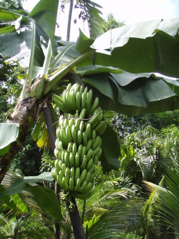 42 best images about Banana Tree on Pinterest | Green ...