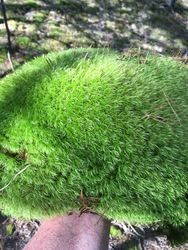 cushion moss for sale $4.99