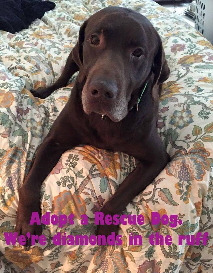 Rescue dogs are diamonds in the RUFF!  http://lab-rescue.org #lab #rescue #adopt