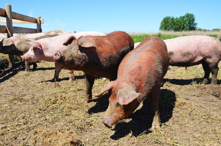 Why Our Free Range Pork Isn't Certified Organic http://www.spraggsmeatshop.com/why-our-free-range-pork-isnt-certified-organic/