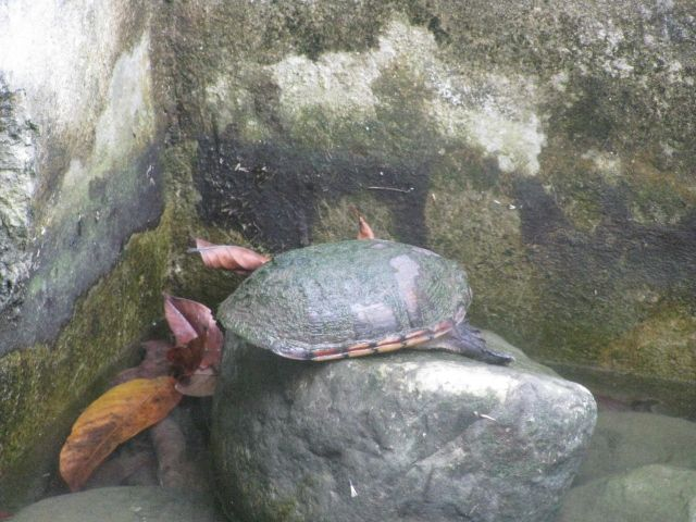 Turtle in Costa Rica