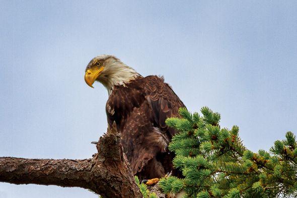 Juvenile Bald Eagle Sits in His Nest
