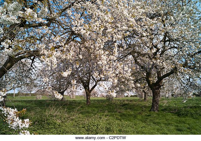 Image Result For Cherry Orchard Obstbaume
