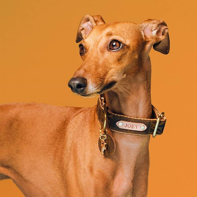 Caramel Italian Greyhound Instagram Iggy