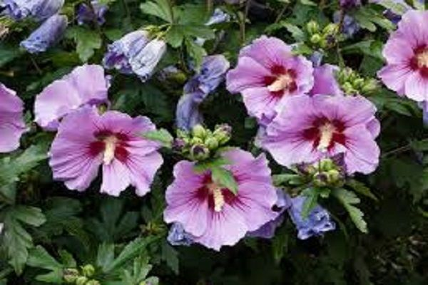 South Korea Rose Of Sharon Rose Of Sharon Hibiscus Showy Flowers