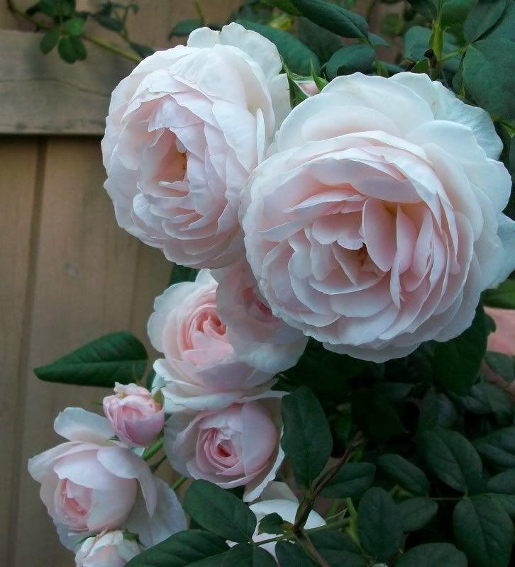 HERITAGE - David Austin Rose, 1984. Strong 'carnation and fruity on a myrrh fragrance. It has a Hybrid Musk foliage.