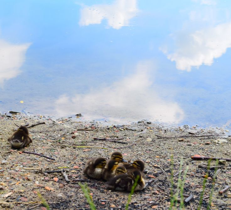 Little ducks -picture