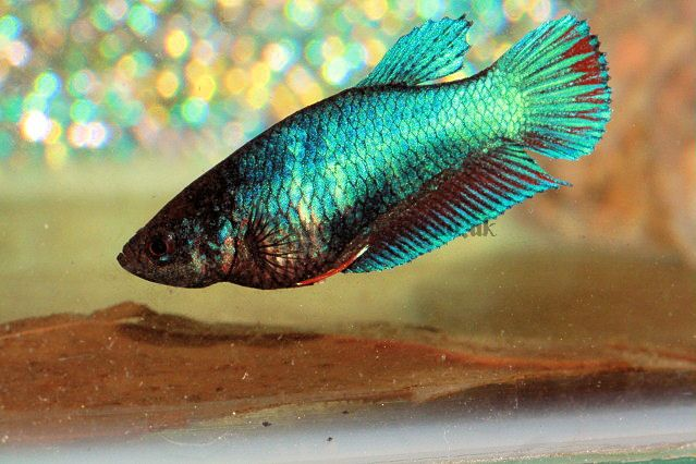 The 2771 best images about betta fish on pinterest betta for Male veiltail betta fish